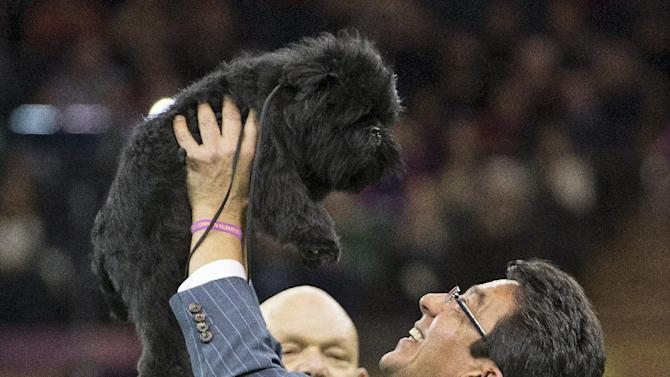 Ernesto Lara celebrates with Banana Joe, an affenpinscher, who won Best in Show, during the 137th Westminster Kennel Club dog show, Tuesday, Feb. 12, 2013, at Madison Square Garden in New York. (AP Photo/Frank Franklin II)