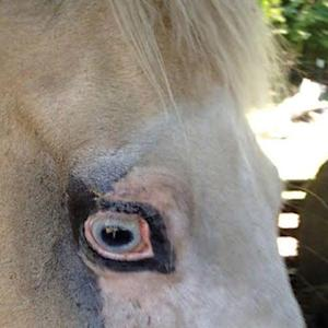 Horse tattooed to prevent cancerous eye ulcers