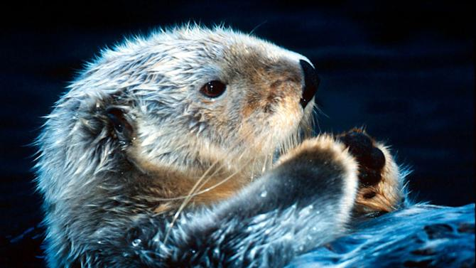 For one of the smallest mammals, the sea otter can live its entire life without ever leaving the water. Sea otters are considered keystone species in their ecosystems, because they actually influence their environments. For instance, they eat sea urchins, which eat kelp in great abundance. When the sea urchins' populations are controlled by sea otters, vital kelp forests can flourish. © Kevin Schafer / WWF-Canon