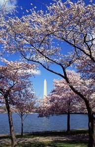 309px-Washington_C_D.C._Tidal_Basin_cherry_trees