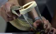 Snake Handler In Hospital After Cobra Bite