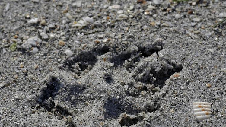 . 18, 2012 photo, a dog print is shown in the sand on a dog friendly
