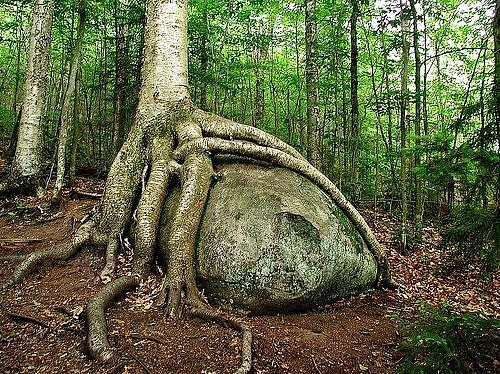 A hungry tree feasting on a rock. (Photo: quabidt/environmentalgraffiti.com)