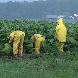 Some Tobacco Farmers Thrive Amid Challenges