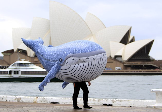 An inflatable humpback whale is taken on a stroll on the foreshore of the harbor in Sydney, Wednesday, June 1, 2011, during a launch of the annual whale watching season. The 2011 whale migration is ex