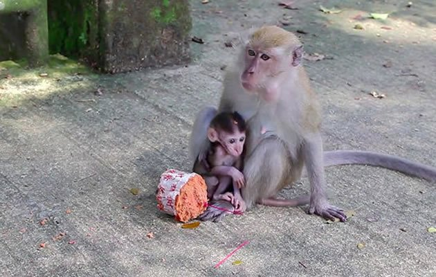Is trapping and killing Singapore's long-tailed macaques the solution to what has become dubbed