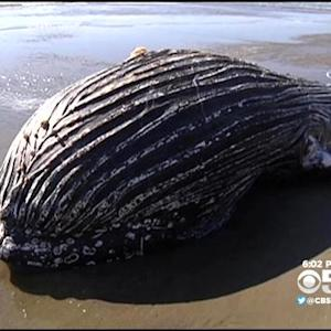 Young Humpback Whale Carcass Washes Ashore In Monterey