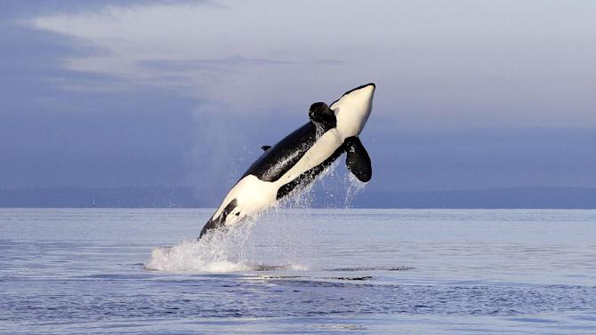 This Jan. 18, 2014 photo, an endangered female orca leaps from the water while breaching in Puget Sound west of Seattle. Scientists studying Puget Sound orcas for the past decade now know they are among the most contaminated marine mammals, with pollutants particularly high in young killer whales, according to a report released Wednesday, June 25, 2014. The report by the National Oceanic and Atmospheric Administration summarizes a decade of research findings that reveal the mysterious lives of a small population of endangered killer whales that frequents the inland waters of Washington state. (AP Photo/Elaine Thompson)