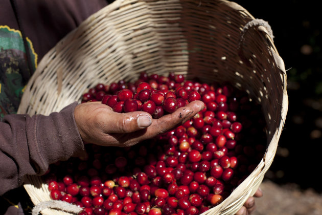 <p>               A coffee worker holds a handful of coffee beans just picked on a coffee plantation in Santiago Atitlan, Guatemala, Friday, Feb. 8, 2013. Guatemala's President Otto Perez Molina has declared a national emergency over the spread coffee rust, a fungus that is affecting 70 percent of the country's crop. Molina said Friday that the pesticides will start being applied to coffee plants in April and that two more applications will be needed during the year. (AP Photo/Moises Castillo)