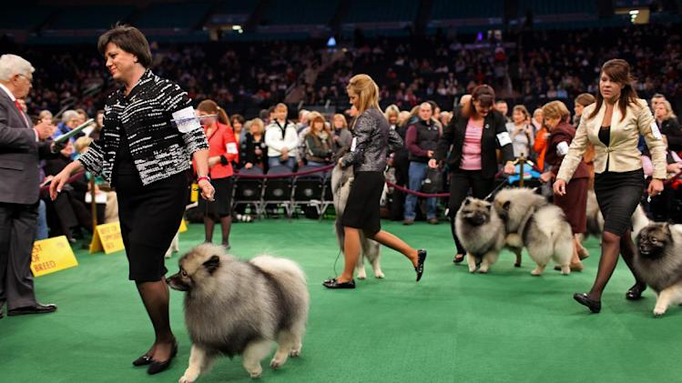 A group of keeshondens leave the ring after competing at the 136th annual Westminster Kennel Club dog show, Monday, Feb. 13, 2012, in New York. (AP Photo/Craig Ruttle)