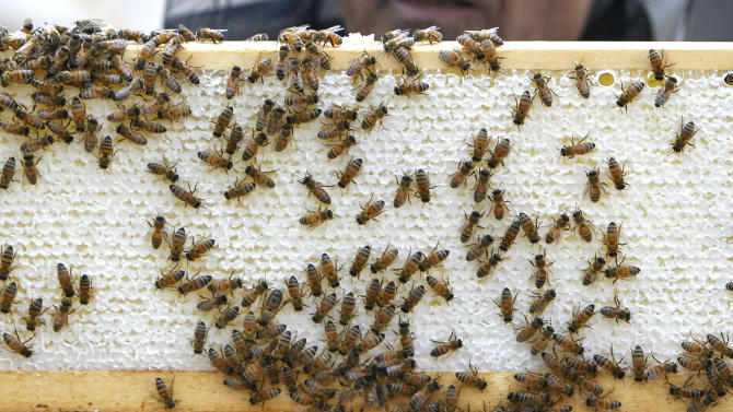 In this photo taken Tuesday, July 12, 2011, honeybees continue to work on a frame consisting of a beeswax combs, honey, brood and pollen on top of City Hall in Chicago. Beekeeping is thriving in cities across the nation, driven by young hobbyists and green entrepreneurs. The city of Chicago's hives, nine in all, on rooftops and other government property are just part of the boom. (AP Photo/Charles Rex Arbogast)