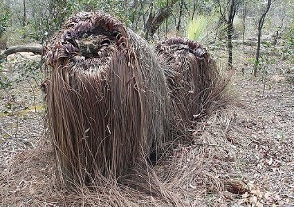 Cousin It? Poodle? No, a grass tree in the Brisbane Ranges National Park. (Photo: williewonker/environmentalgraffiti.com)