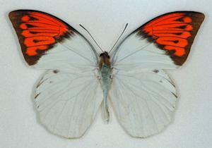 Beautiful Butterfly Wings Hold Sea Snail's Toxin