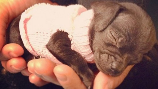 Tiny Recovering Chihuahua Nellie Steals Hearts on Instagram (ABC News)