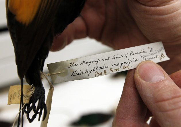 In this Friday, March 23, 2012, photo, Doug Wechsler, director of the Visual Resources for Ornithology, shows the tag for a Magnificent Bird of Paradise in the collection at the Academy of Natural Sci