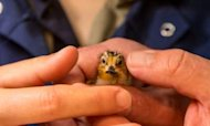 Endangered Birds Hatched For First Time In UK