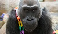 Oldest Gorilla Celebrates Her 56th Birthday