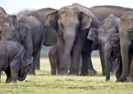 FILE - In this Aug. 12, 2011 file photo, a herd of Asiatic wild elephants gather at a national park in Minneriya, some 200 kilometers (125 miles) from Colombo, Sri Lanka. The first national survey of Sri Lanka's wild elephants shows that the Indian Ocean island has a population of more than 5,800 _ slightly higher than previous official estimates, officials said Friday Aug. 2, 2011. (AP Photo/Chamila Karunarathne, File)