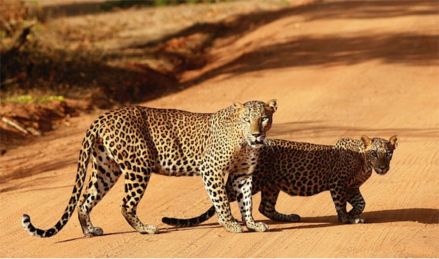 Leopards cross a dirt road before heading into a jungle at the Yala National Park in Yala, about 300 km (190 miles) from central Colombo, July 22, 2012.