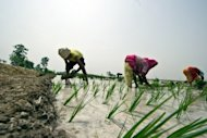 "<p>Indian farmers sow a paddy in a field in Gorakhpur, Uttar Pradesh, in June 2012. World farm production must rise 60 percent by 2050 to meet the needs of a growing population but this has to happen in ""a more sustainable way,"" the UN food agency FAO and the OECD said on Wednesday.</p>"