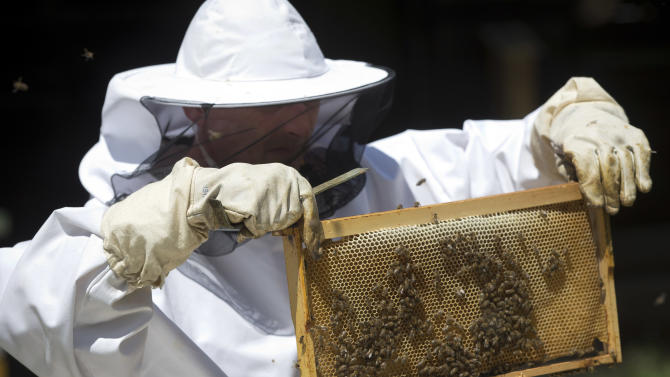 In this Wednesday, May 15, 2013 photo, a scientist inspects bees during a scientific experiment at the Faculty of Agriculture at Zagreb University. Croatian researches, working on a unique method to find unexploded mines that are littering their country and the rest of the Balkans, are confident they can use bees for detecting land mines. (AP Photo/Darko Bandic)
