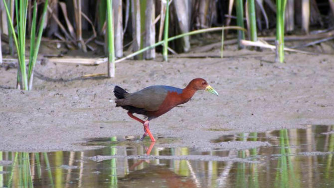 In this undated image provided by the American Birding Association, a Rufous-necked wood-rail walks along the edge of a marsh at Bosque del Apache National Wildlife Refuge near San Antonio, N.M. Experts say this is the first time the species has been spotted in the United States. The bird is typically found along the coasts and in tropical forests in Central and South America. (AP Photo/American Birding Association, Jeffrey Gordon)
