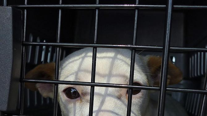 In this photo taken Friday, June 15, 2012, a mixed breed puppy peers out of his cage while sitting on an airplane in Greenville, Ala.  Jeff Bennett, a volunteer ilot for the non-profit charity Pilots N Paws picked up 23 dogs that were scheduled to be euthanized and flew them back to Florida, where they will be put up for adoption.  (AP Photo/Tamara Lush)