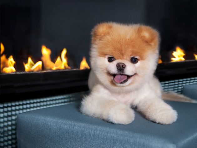 Boo, the so-called cutest dog in the world, poses for the camera. With over 5 million Facebook fans and several books, the Pomeranian pooch is a certified superstar. (Gretchen LeMaistre/Chronicle Books)