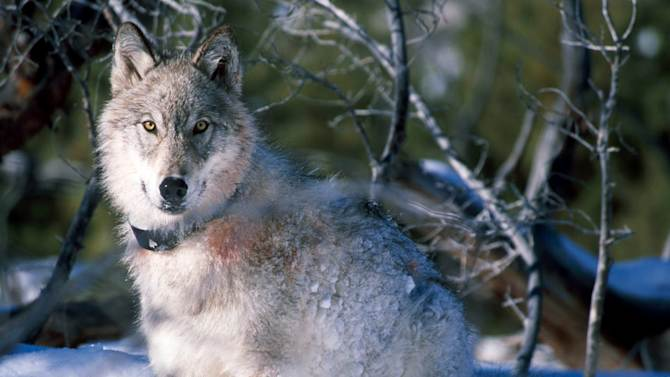 File-This Jan. 2003 handout file photo provided by the U.S. Fish and Wildlife Service shows a 130-pound gray wolf as it watches biologists in Yellowstone National Park, Wyo., after being captured and fitted with a radio collar. Montana wildlife officials say they're abandoning efforts attempts to shut down wolf hunting and trapping just outside the gates of Yellowstone National Park. The move comes after a judge ruled earlier this month that not enough notice was given when two areas totaling about 60 square miles were briefly closed to hunters and trappers.  (AP Photo/U.S. Fish and Wildlife Service, William Campbell, File)