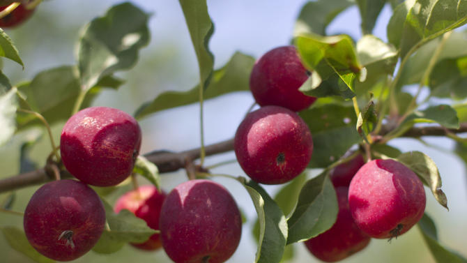 New England expects ample apples after dismal 2012