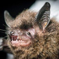 New Alaska bat species turns up in museum search