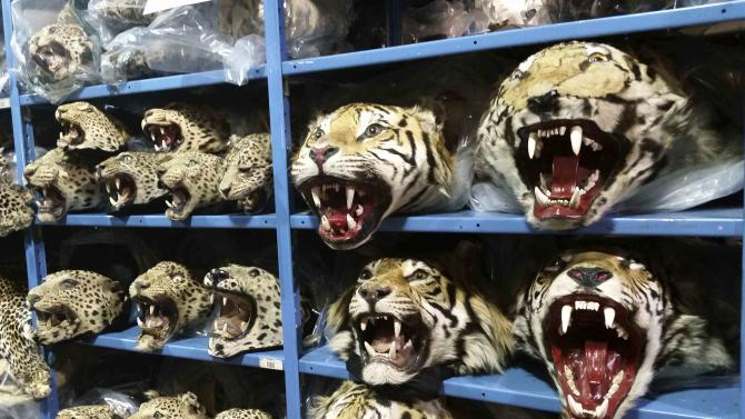 Stuffed heads of tigers, leopards and other big cats are seen on the shelves of the U.S. Fish and Wildlife Service (USFWS) National Wildlife Property Repository in Denver