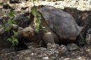 """FILE - In this July 21, 2008 file photo released by Galapagos National Park, a giant tortoise named """"Lonesome George"""" is seen in the Galapagos islands, an archipelago off Ecuador's Pacific coast. Lonesome George, the late reptile prince of the Galapagos Islands, may be dead, but scientists now say he may not be the last giant tortoise of his species after all. (AP Photo/Galapagos National Park, File)"""