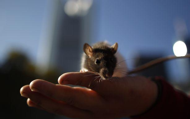 Hurricane Sandy Rodent Report: Baby Squirrels Fared Better Than Subway Rats and Lab Mice