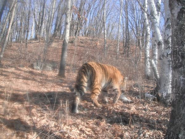 Cameras Spy Endangered Siberian Tiger in China