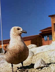 A grey skua chick, pictured near Italy's Antarctic base at Terra Nova Bay in the Ross Sea. The Antarctic Ocean Alliance says climate change is affecting the abundance of important food sources for penguins, whales, seals and birds while growing demand for seafood is seeing greater interest in the Southern Ocean