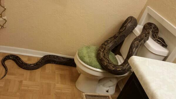 Texas woman finds 12-foot python in bathroom