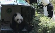 Giant Panda Released Into Wild In China
