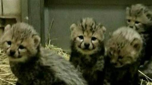 Rare 'King Cheetahs' Born in Japan Litter