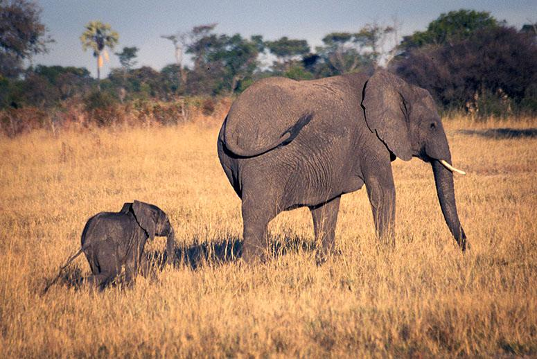 Cyanide Poisoning Linked to Death of 14 Elephants in Zimbabwe
