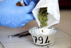 A production assistant prepares to inspect marijuana …