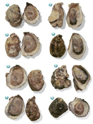 Oyster varieties: (1) Totten Inlet Virginica (2) Royal Miyagi (3) Pemaquid (4) Montauk Pearl (5) Martha's Vineyard (6) Kumamoto (7) Blue Point (8) Belon