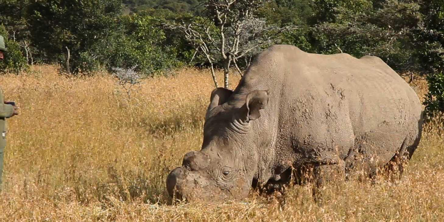 The only male northern white rhino left in the entire world is under 24-hour protection by armed guards