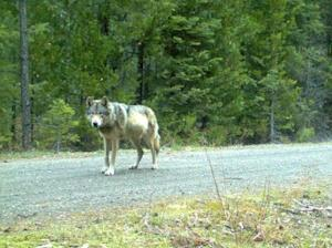 A wolf is seen walking on a gravel road in this undated Oregon Fish & Wildlife handout photo