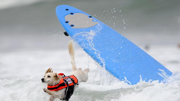 Cody, a one-year-old Cockaweenie, bails during the surfing competition of the Purina Incredible Dog Challenge in San Die... GUS RUELAS / Reuters