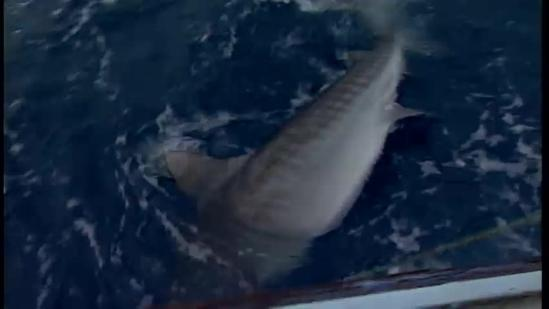 Experts study, tag sharks to find answers
