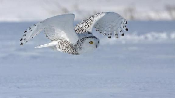 Snowy-Owl Migration to US One of Biggest on Record