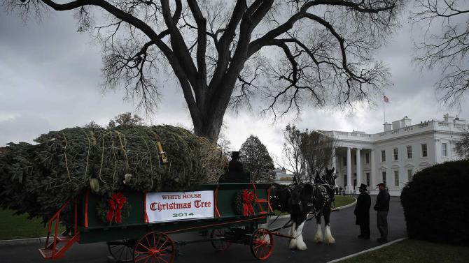Douglas Fir Christmas tree on a horse-drawn wagon waits to travel up the main driveway at the White House in Washington