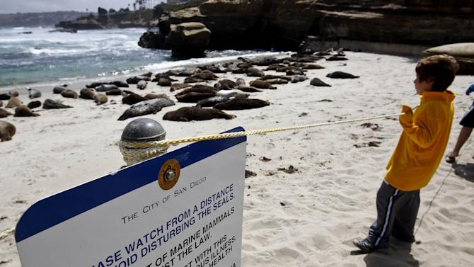 FILE - In this May 29, 2011, photo visitors watch harbor seals lay on the sand along La Jolla beach known as Children's Pool in San Diego. The California Coastal Commission voted unanimously Wednesday July 11, 2012, to keep up a rope barrier year-round for at least three years to discourage people from bothering harbor seals in the water at Children's Pool, a La Jolla cove used by the seals during breeding season. (AP Photo/Chris Carlson, File)