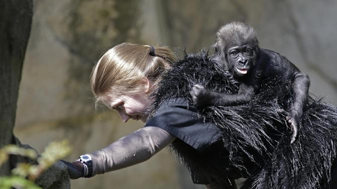 FILE - In thisTuesday, April 30, 2013 file photo, Ashley Chance carryies a three-month-old western lowland gorilla named Gladys in the outdoor gorilla exhibit at the Cincinnati Zoo in Cincinnati. The baby gorilla was born Jan. 29 at a Texas zoo to a first-time mother who wouldn't care for her. Cincinnati zoo workers and volunteers acted as surrogate mothers to prepare the baby to be introduced to an adult female gorilla at the zoo who did accept her. The zoo says one-year-old Gladys is thriving. (AP Photo/Al Behrman, File)